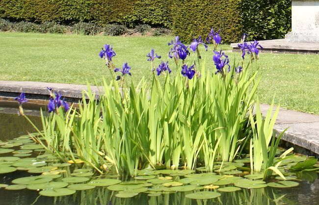 How to Plant Water Iris Plants in a Backyard Pond