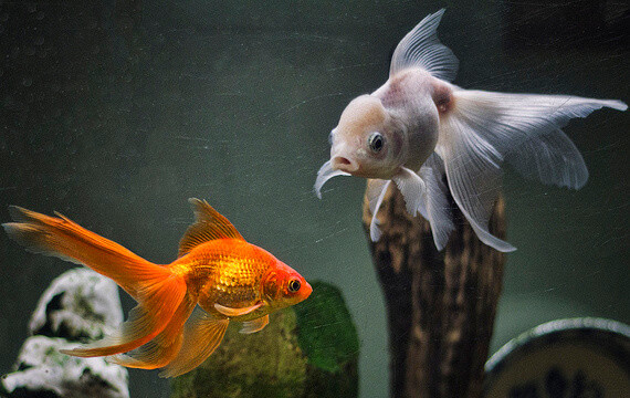 Goldfish Aquarium Maintenance