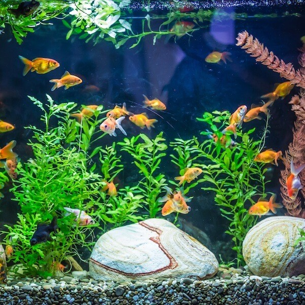 How to care for a goldfish won at carnival or fair for Aquarium decoration for goldfish