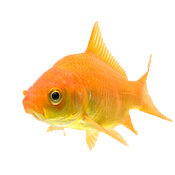 goldfish common type