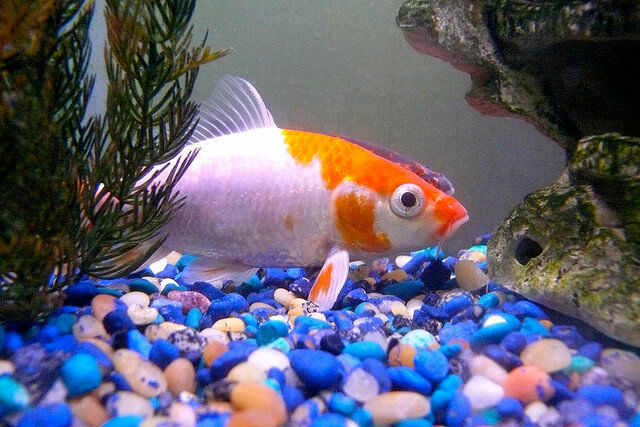 Goldfish Gravel Substrate