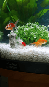 goldfish in tank