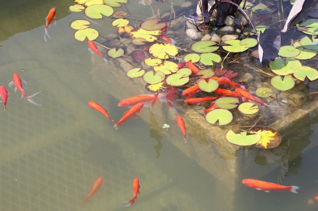 Goldfish pond adjust and maintain water quality for Goldfish pond