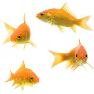 group of common goldfish
