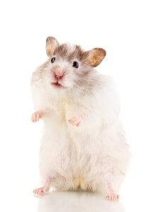 Cute hamster standing