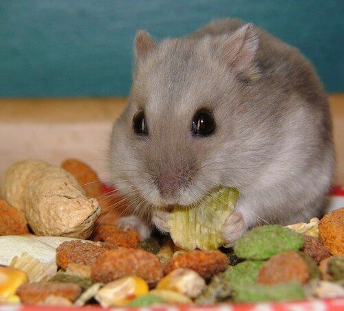 Hamster Food, Treats & Diet: What Types, How Much & Often