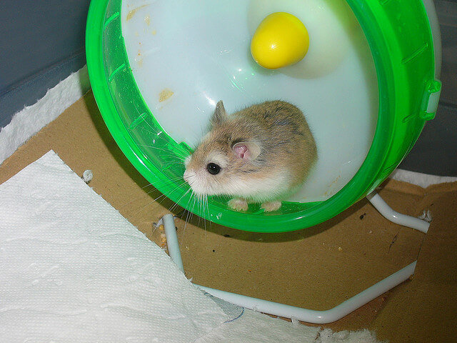 how to take care of a dwarf hamster video