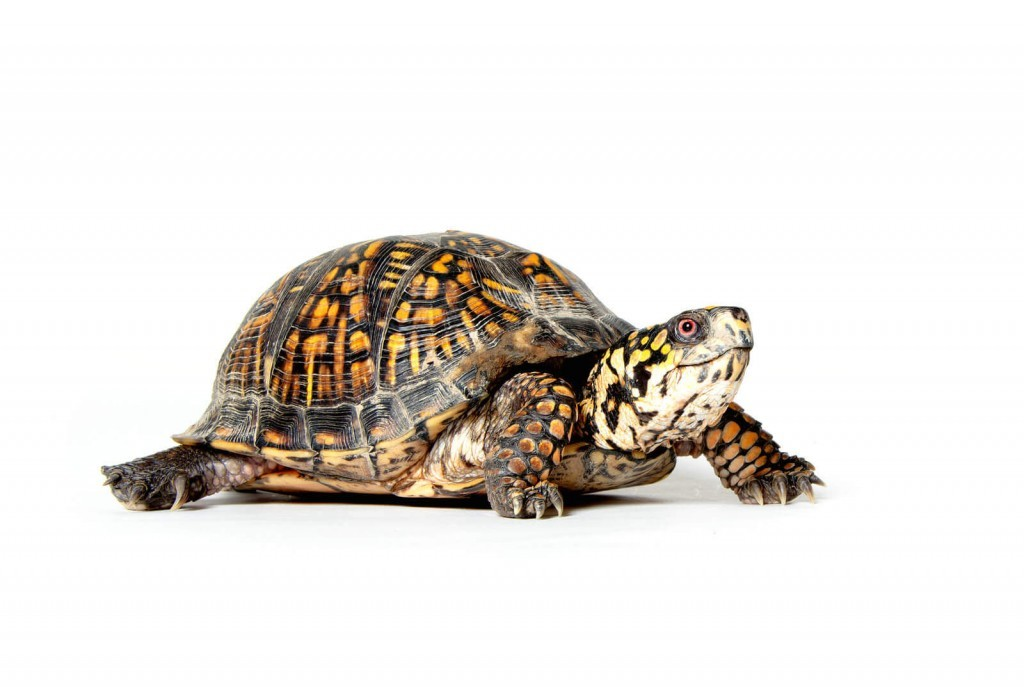 Indoor Turtle Tables - How to Take Care of a Turtle