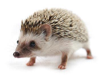 how to take care of a pet hedgehog