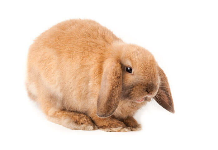 Are Mini Plush Lop Rabbit Easy To Care For Caring Pets