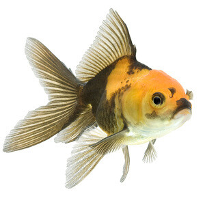 multi color fancy goldfish