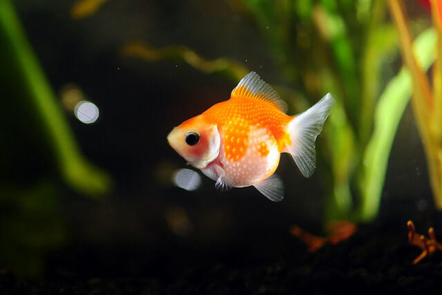 15 Different Types of Goldfish Breeds | Caring Pets
