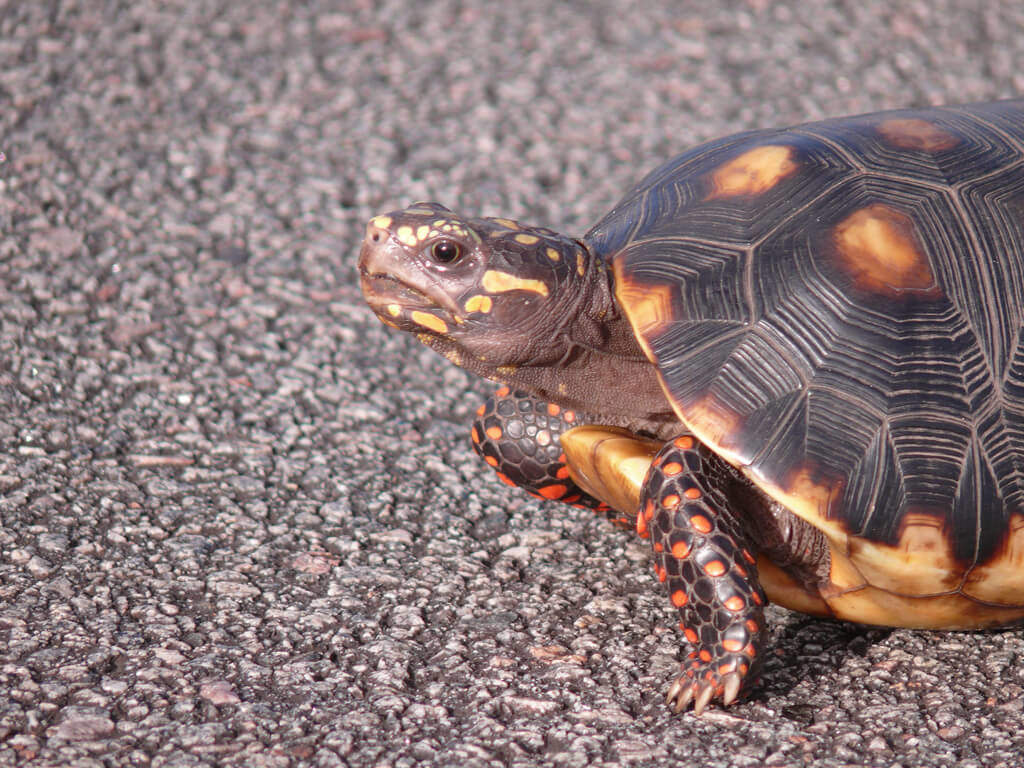 red-footed-tortoise