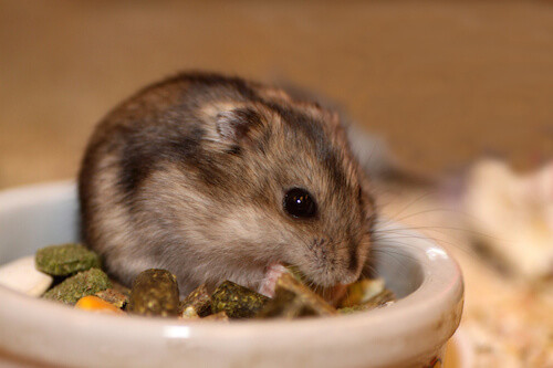 5 Types of Dwarf Hamster Breeds
