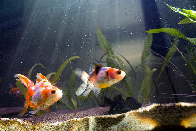 33 Different Types of Goldfish Breeds | Identification Guide