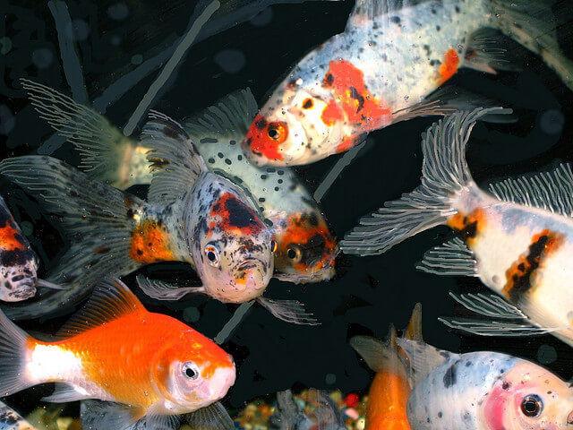 shubunkin pond goldfish