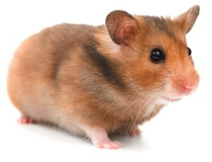 Bedding For Hamsters How to Take Care of a Hamster