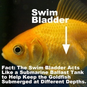 Goldfish swim bladder