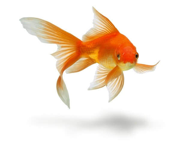 take-care-of-a-goldfish