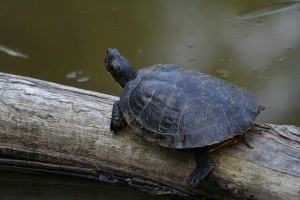 the-cooter-turtle