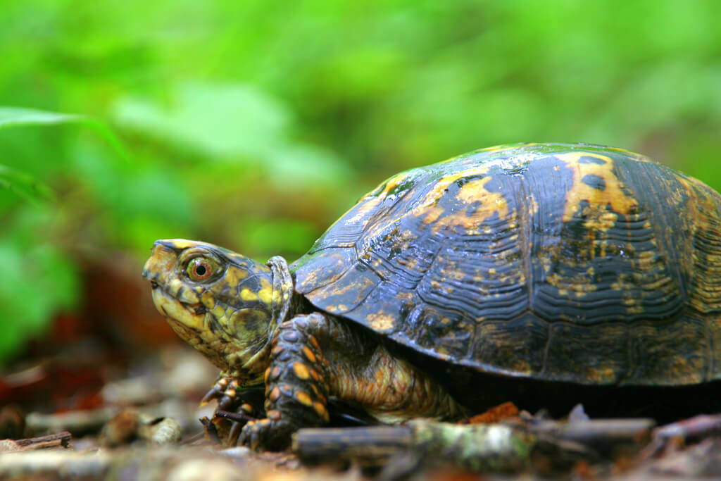the eastern box turtle