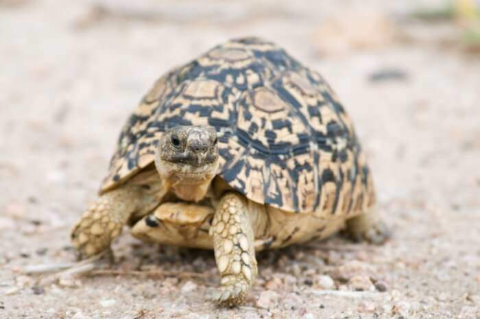Types of Pet Tortoises - How to Take Care of a Turtle