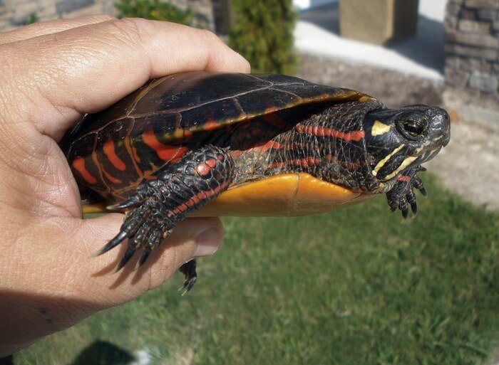 the-painted-turtle