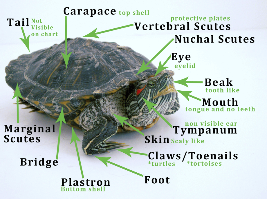 Anatomy of a tortoise
