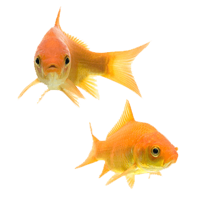 two common goldfish