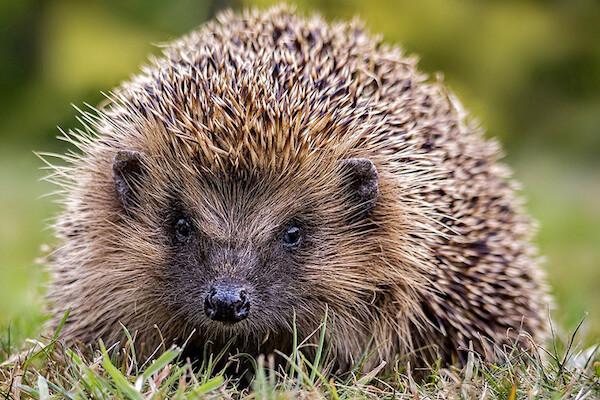 type of hedgehog