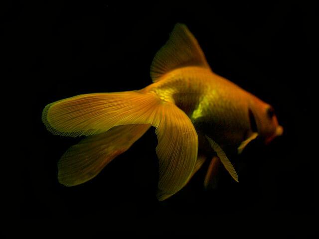 vailtail goldfish
