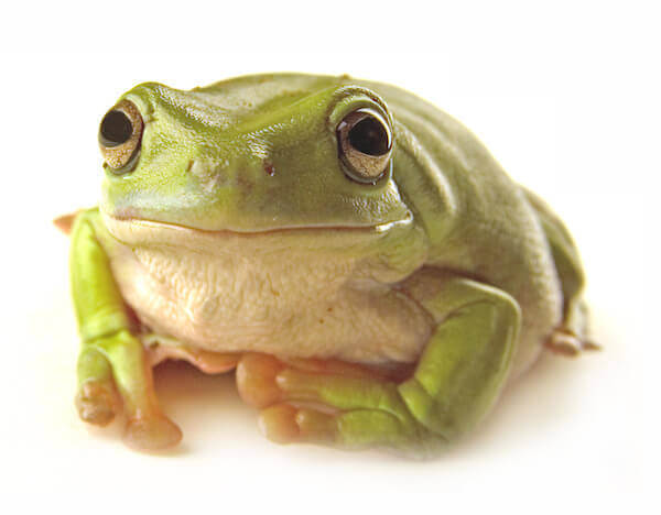 What do different species of frogs eat?