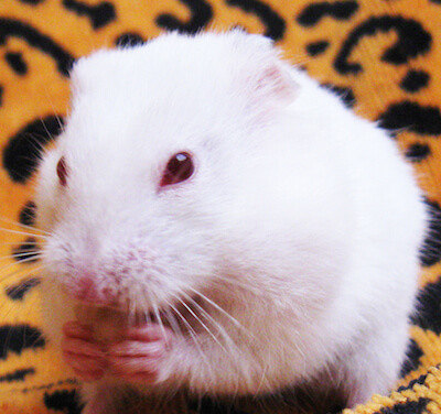 White Hamster with Red Eyes